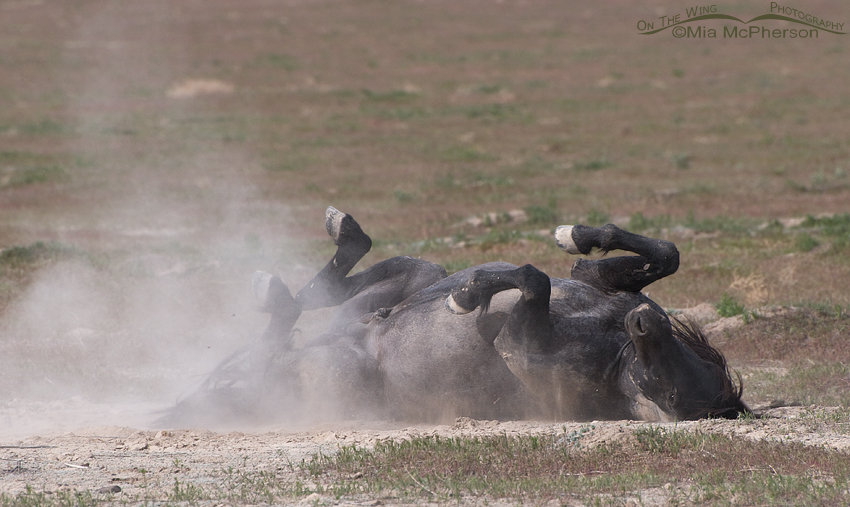 A wild Mustang rolling in the dust