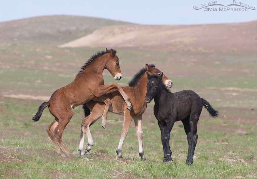 A Trio of young wild Horses