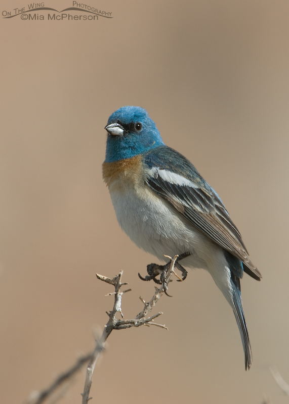 Lazuli Bunting in the San Rafael Swell