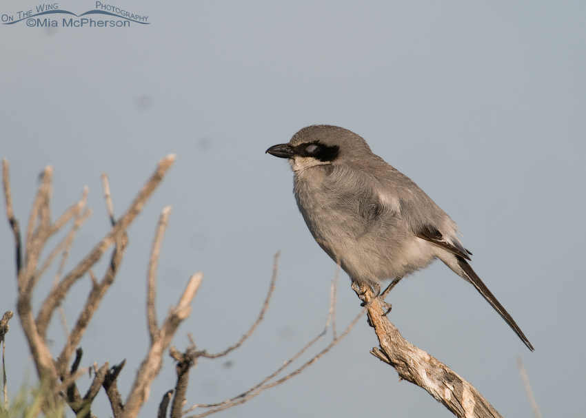 Loggerhead Shrike with its eyes closed