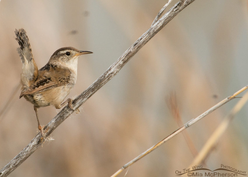 Marsh Wren searching for nesting material