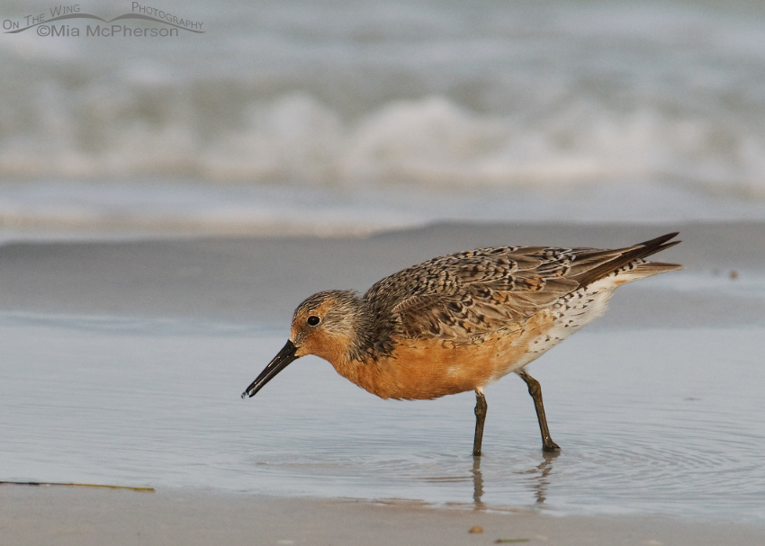 Red Knot feeding in early morning light