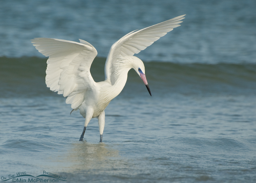 Hunting white morph Reddish Egret