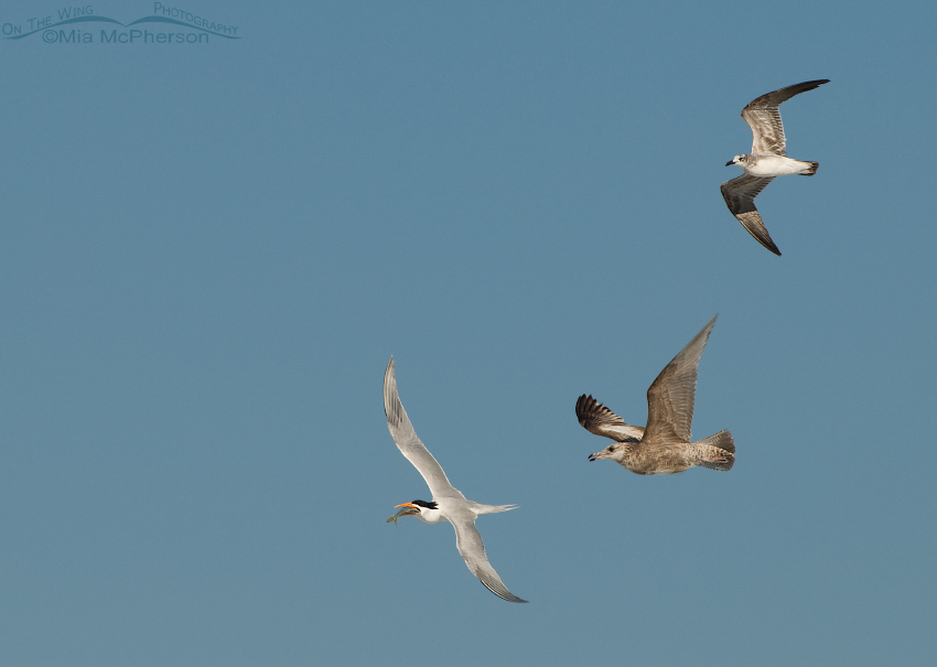 A Royal Tern with prey being chased by immature Laughing and Herring Gulls