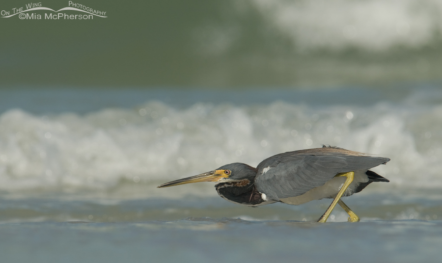 Crouched Tricolored Heron