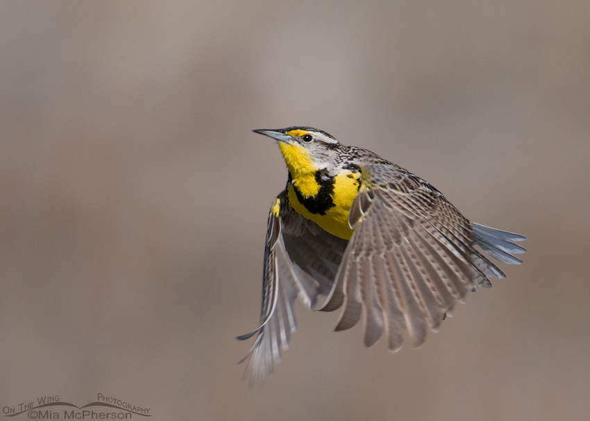 Western Meadowlark on the wing