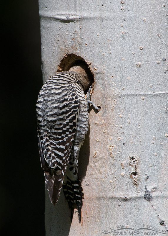 Williamson's Sapsucker female looking into the nesting cavity