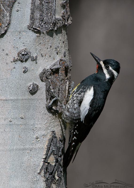 Male Williamson's Sapsucker on the nesting tree