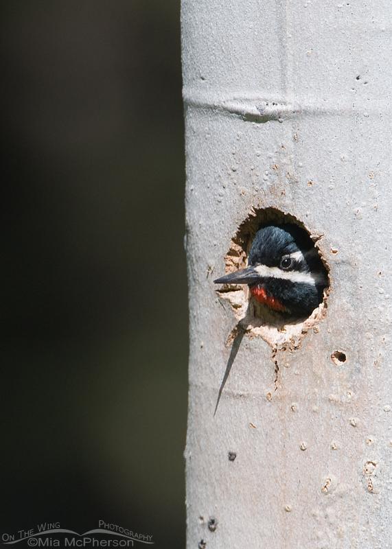 Male Williamson's Sapsucker in the nesting cavity