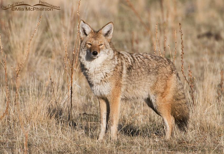 Coyote in its winter coat