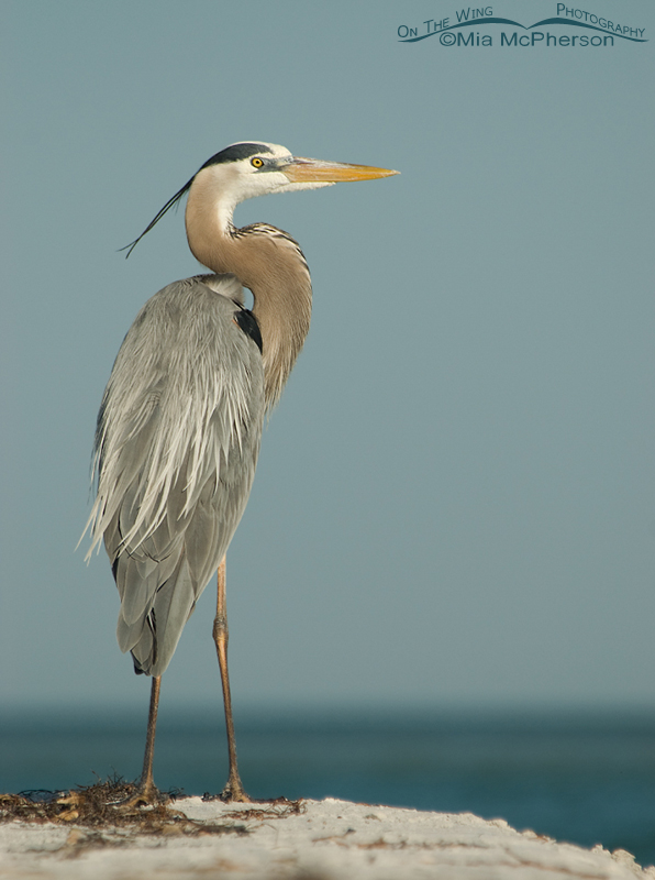 Great Blue Heron - Mid morning light