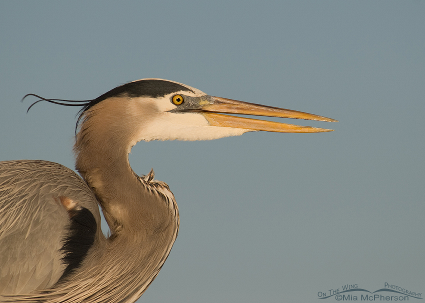 Great Blue Heron portrait - Warm morning light