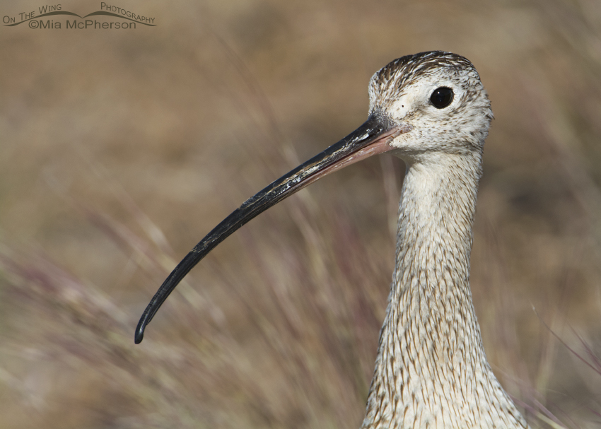 Male Long-billed Curlew portrait