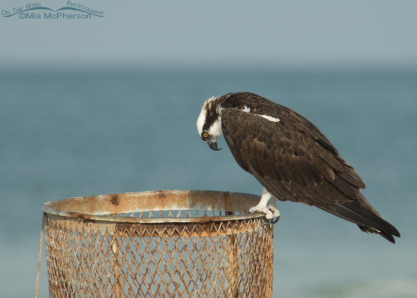 The Osprey and the Trash Can