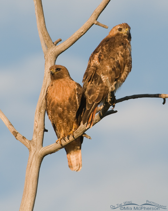 A pair of Red-tailed Hawks looking out over the Centennial Valley