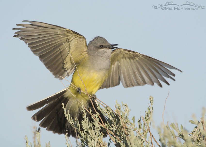 Western Kingbird display