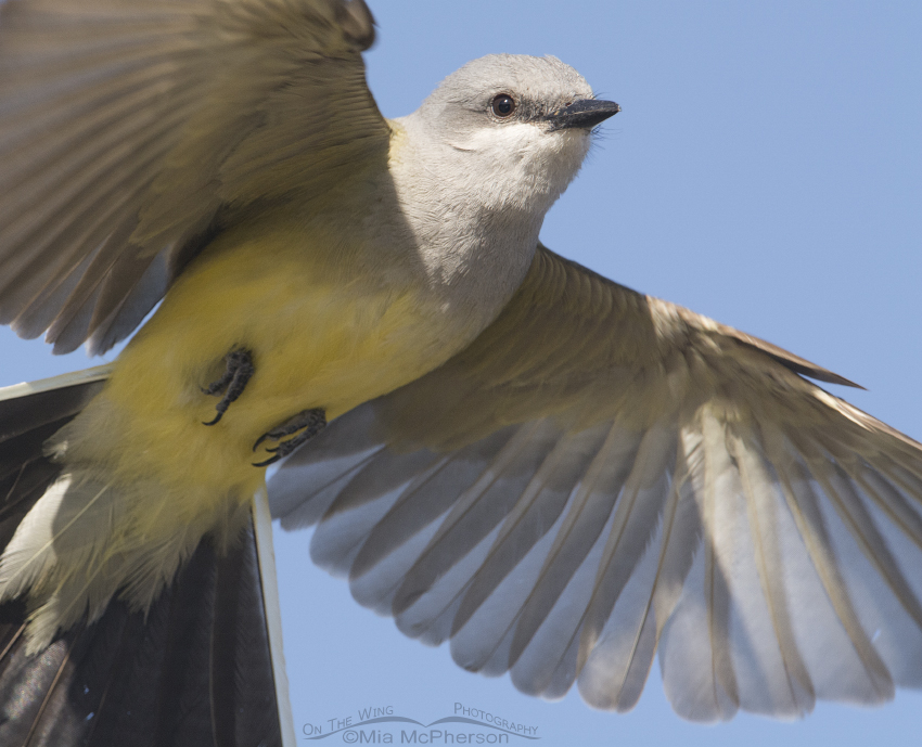 Western Kingbird up close