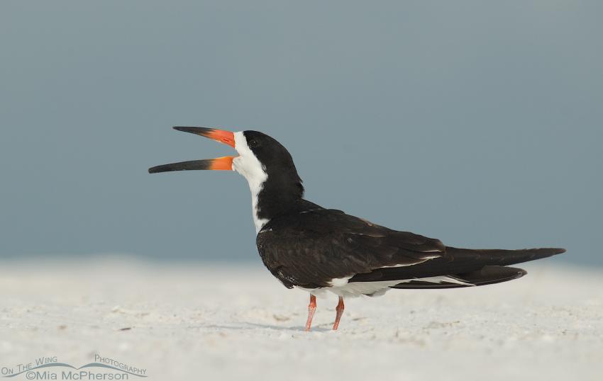 Black Skimmer adult on beach