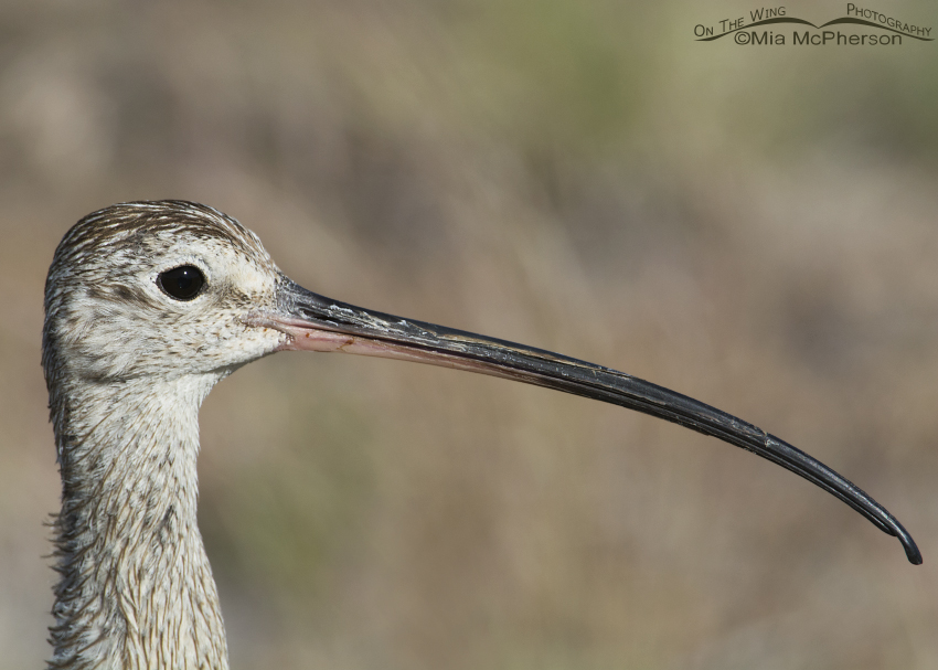 Close up of a male Long-billed Curlew