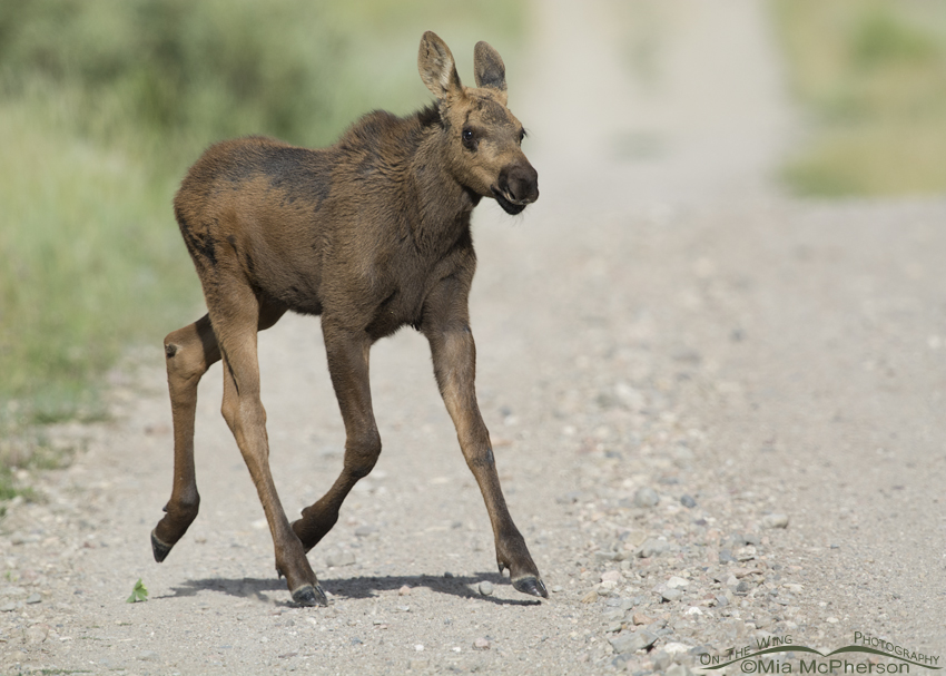 Moose calf crossing a dirt road