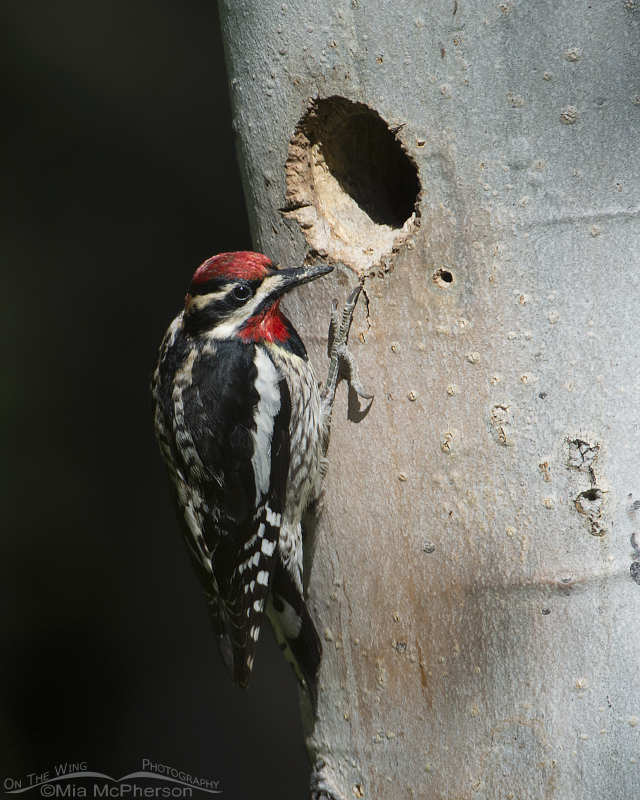 Red-naped Sapsucker checking out the Williamson's Sapucker nest cavity