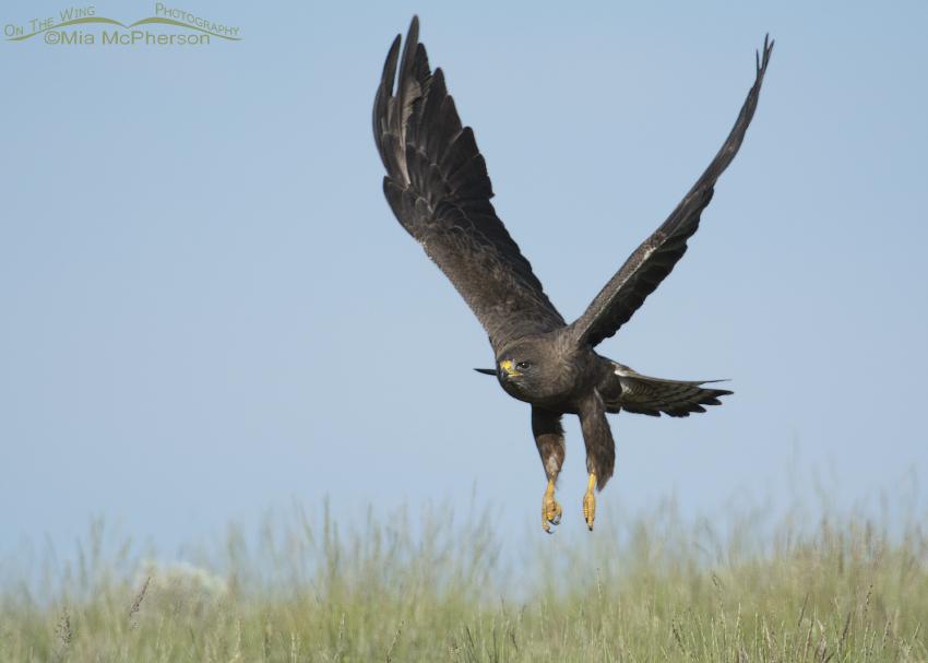 Dark morph Swainson's Hawk lifting off from a Montana hillside