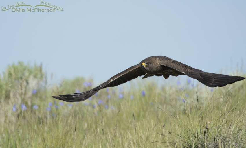 Dark morph Swainson's Hawk on the wing