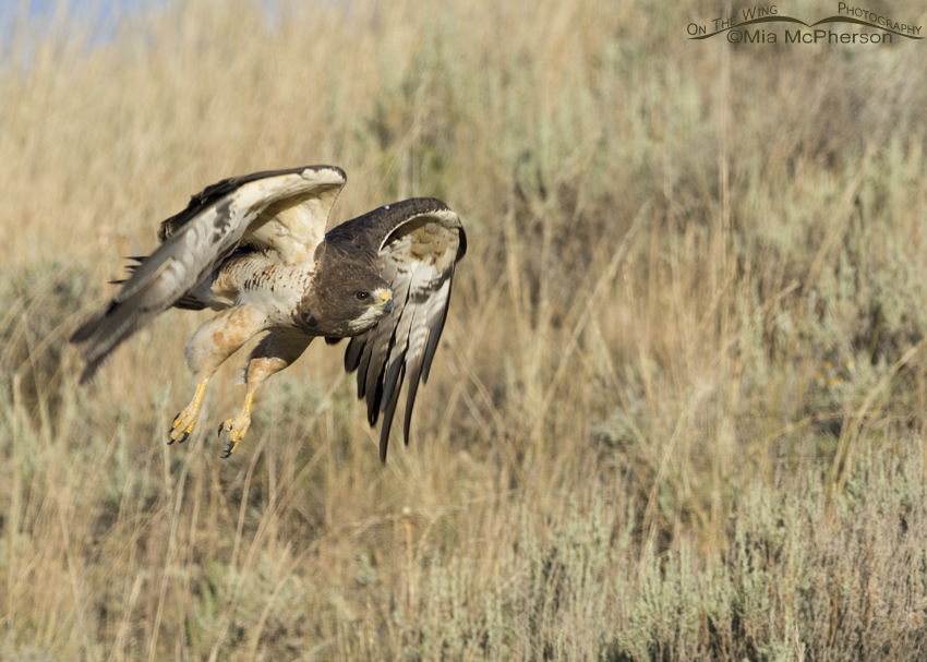 Swainson's Hawk gaining air speed