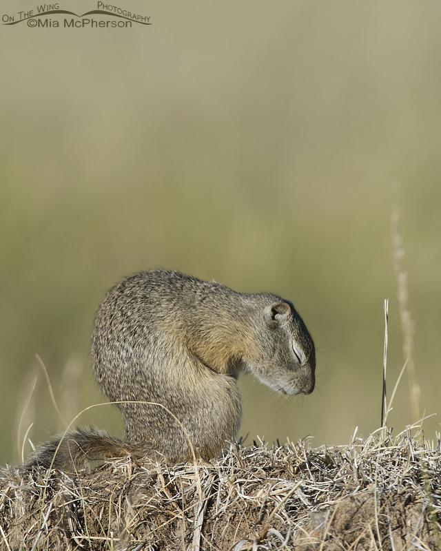 Resting Uinta Ground Squirrel