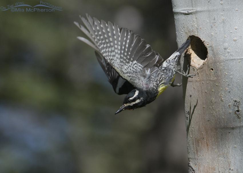Male Williamson's Sapsucker leaving the nesting cavity