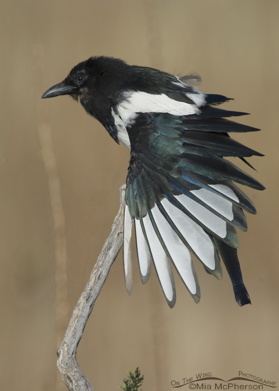 Young Black-billed Magpie