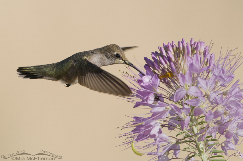 Black-chinned Hummingbird hovering at Rocky Mountain Bee Plant