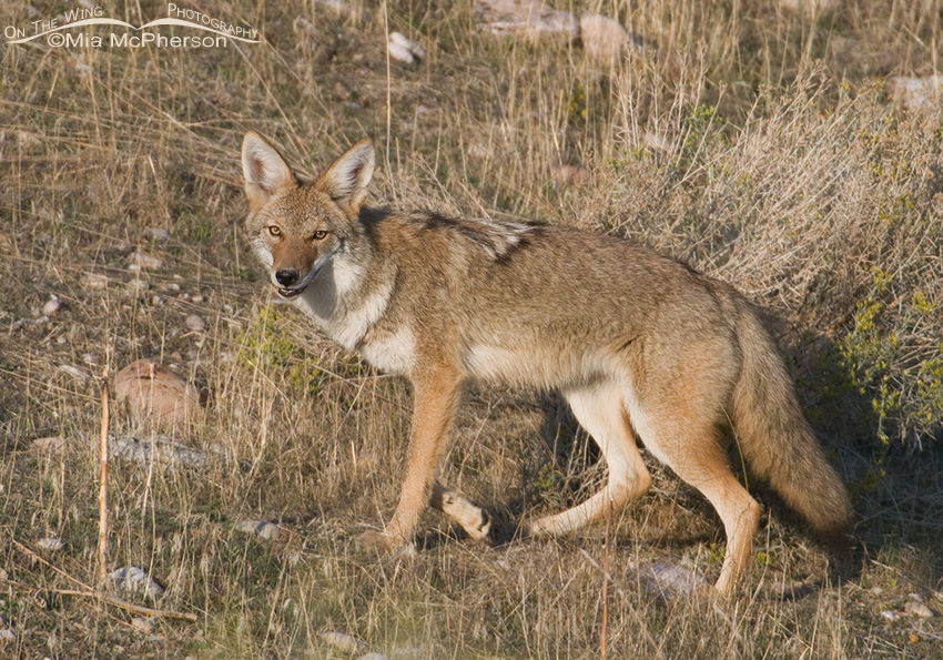 Coyote starting to get its winter coat