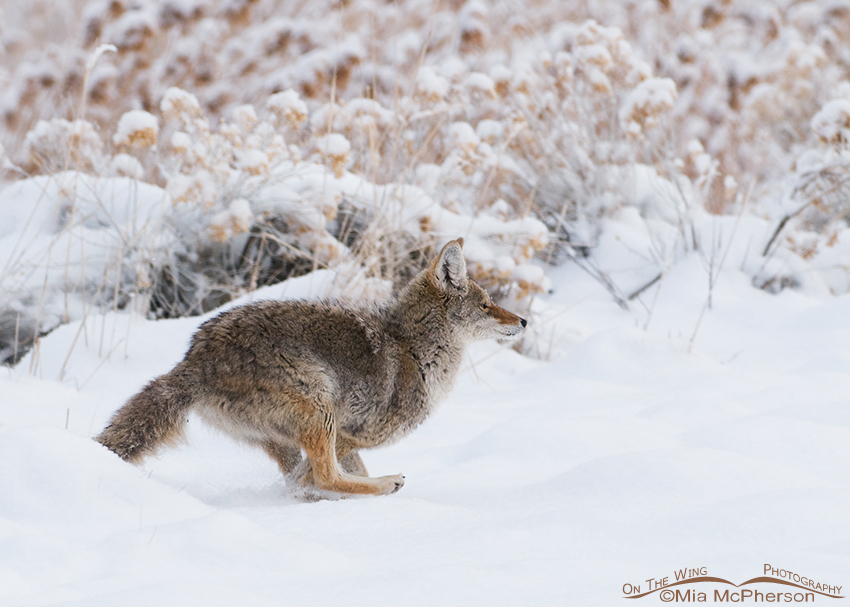 Coyote running through the snow