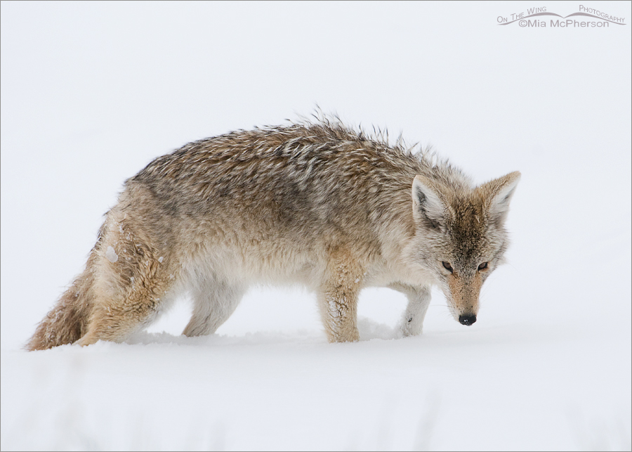 Coyote sniffing for voles