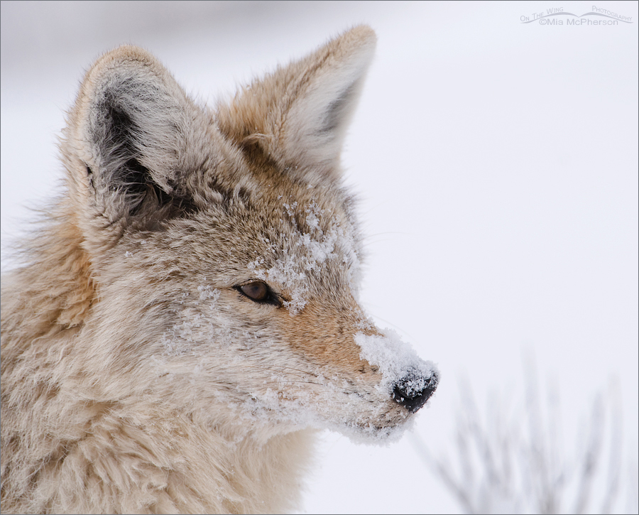 Snowy Coyote portrait