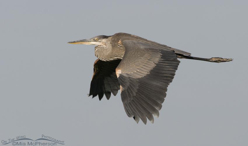 Great Blue Heron's flight over Farmington Bay