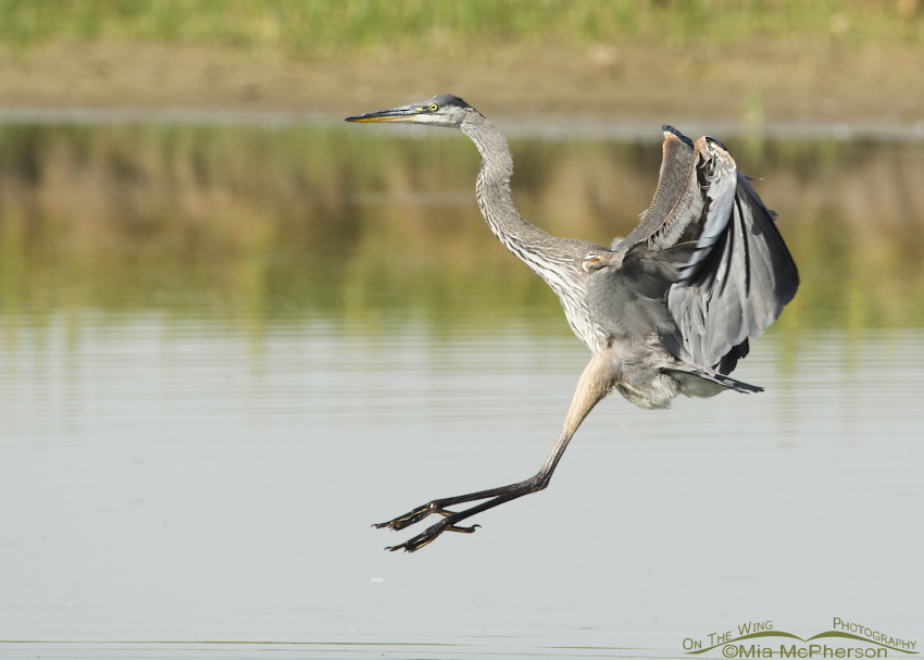 Great Blue Heron in landing position