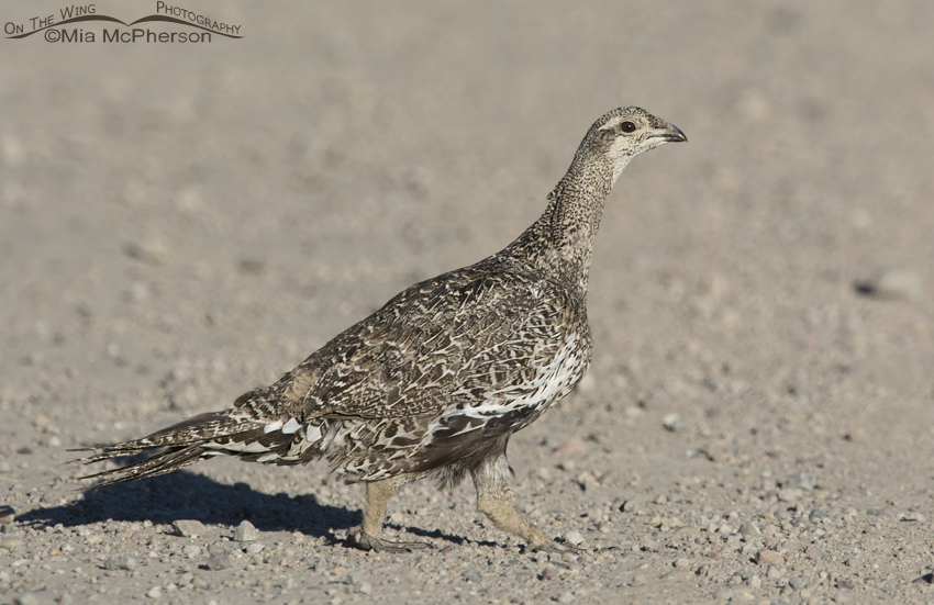 Greater Sage-Grouse adult crossing a road
