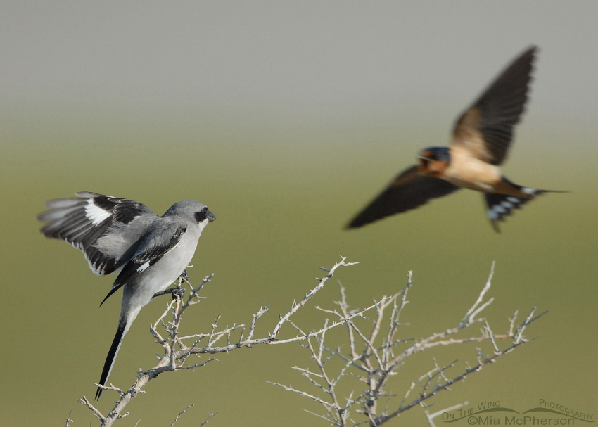 Loggerhead Shrike photobombed by a Barn Swallow
