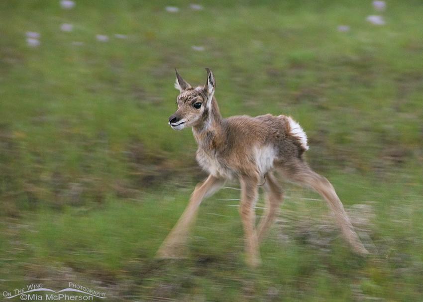 Newborn Pronghorn Fawn