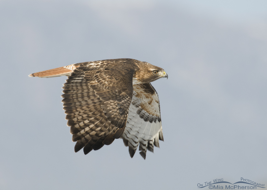 A Red-tailed Hawk on a cold winter day