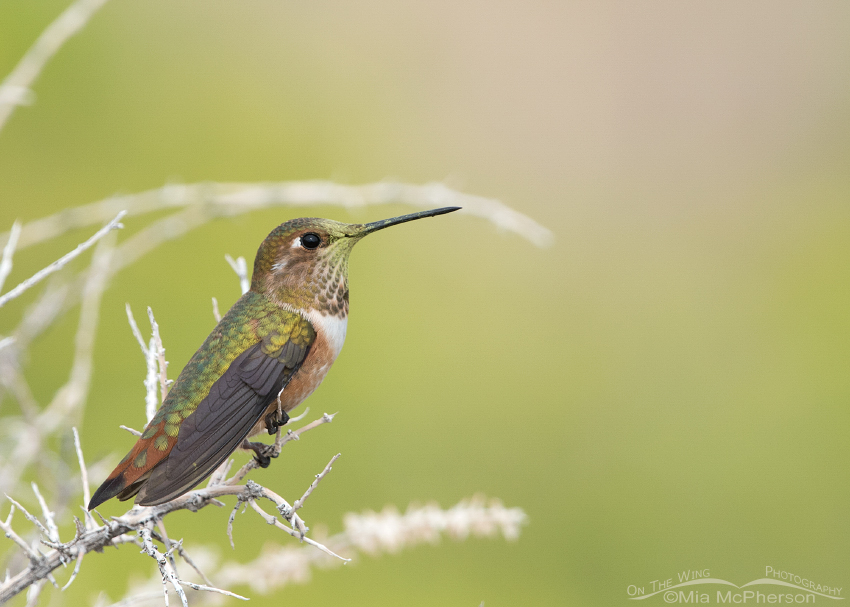 Perched Rufous Hummingbird