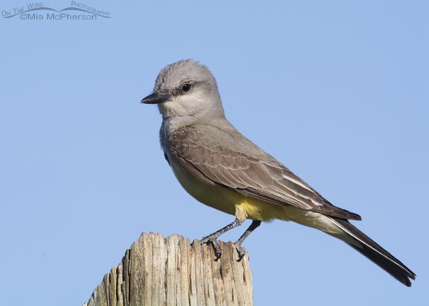 Perched Western Kingbird