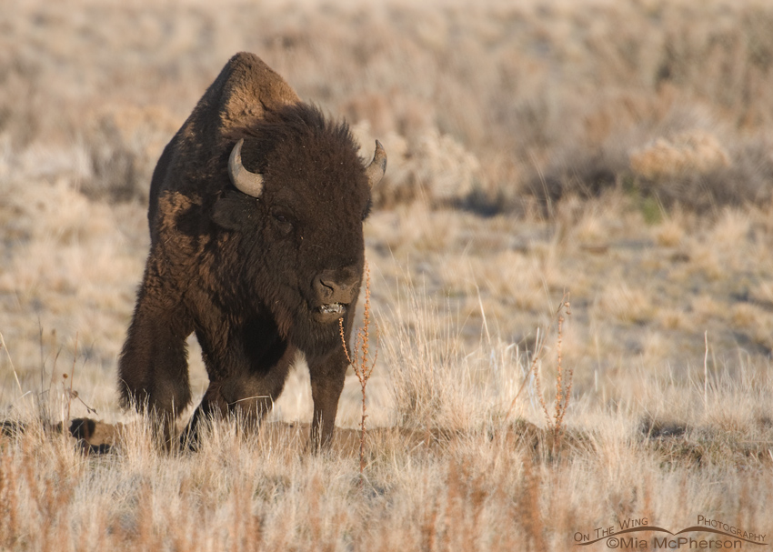 A ticked off Bison Bull