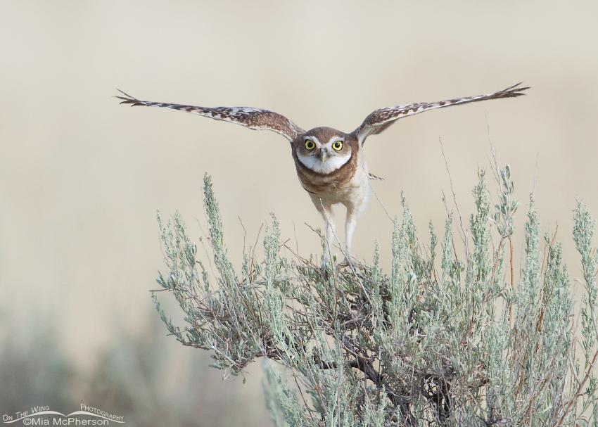 Burrowing Owl juvenile
