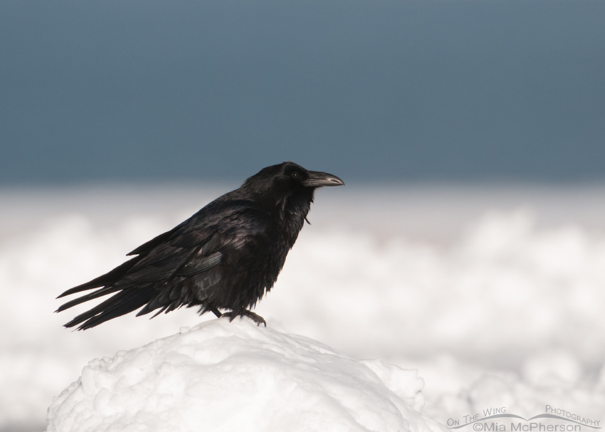 Common Raven on a mound of snow