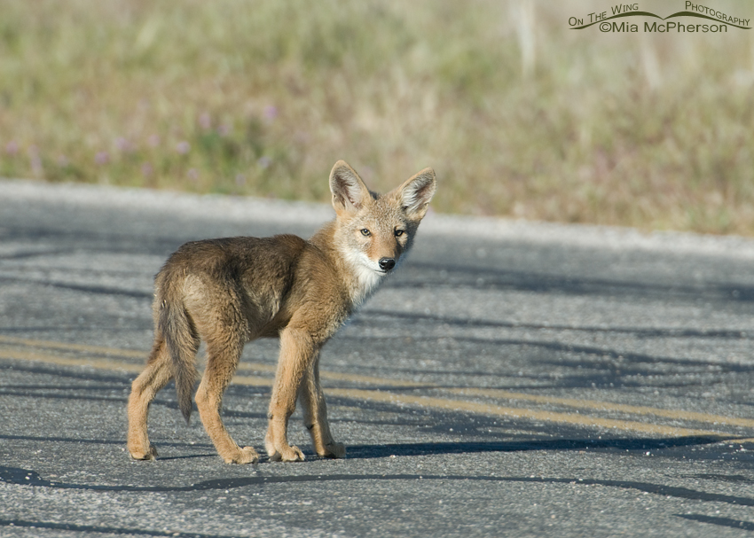 Coyote pup crossing a road