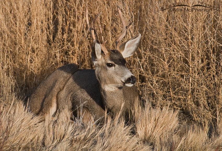 Resting Mule Deer buck