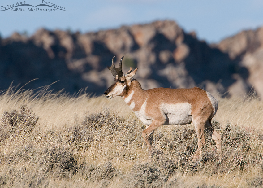 Pronghorn buck keeping an eye on his does